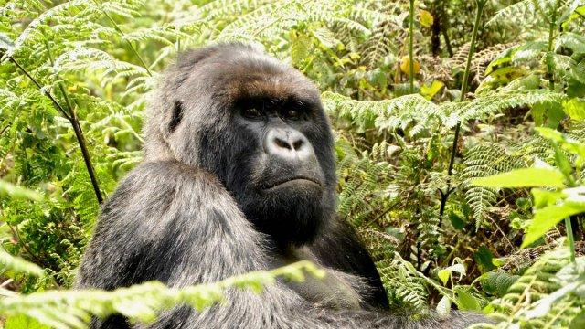 Reisebericht Gorilla-Trekking