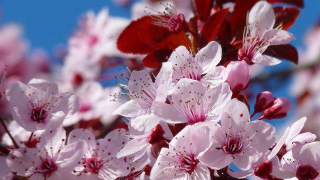 Mallorca – Mandelblüten