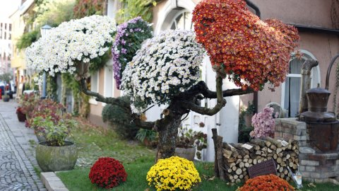 Chrysanthemen in Lahr